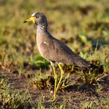 African-Wattled-Lapwing