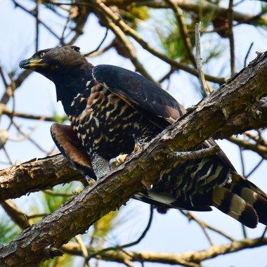 Crowned-Eagle