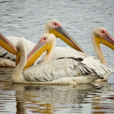 Great-White-Pelicans