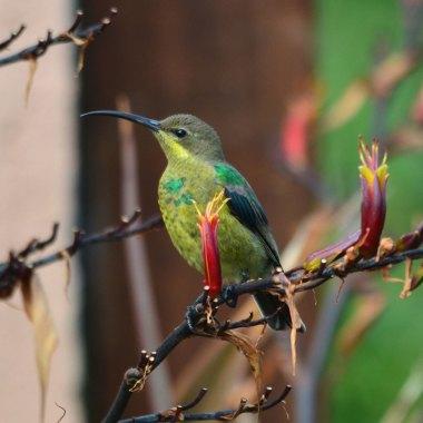 Malachite-Sunbird-at-the-Bvumba-Botanical-Gardens
