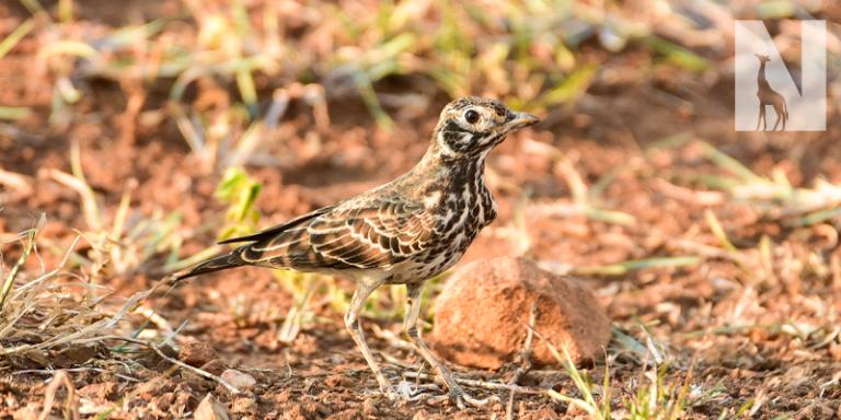 Northern-South-Africa-Birding