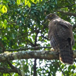 Madagascan-Serpent-Eagle