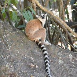 Ring-tailed-Lemur