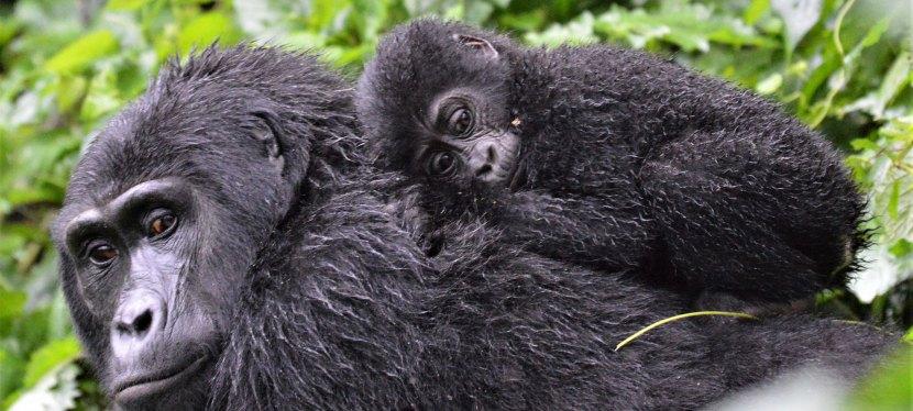 Uganda Chimpanzee, Gorilla, Wildlife Safari