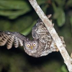 Akun Eagle Owl