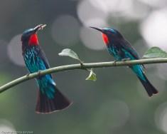 Black Bee-eater