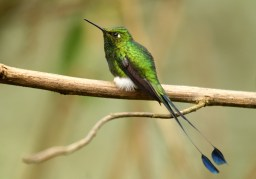 Booted Racket Tail