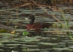 Hartlaubs Duck