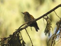 Abyssinian Woodpecker