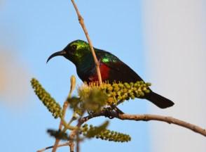 Marico Sunbird