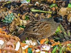 Black-fronted Wood-quail