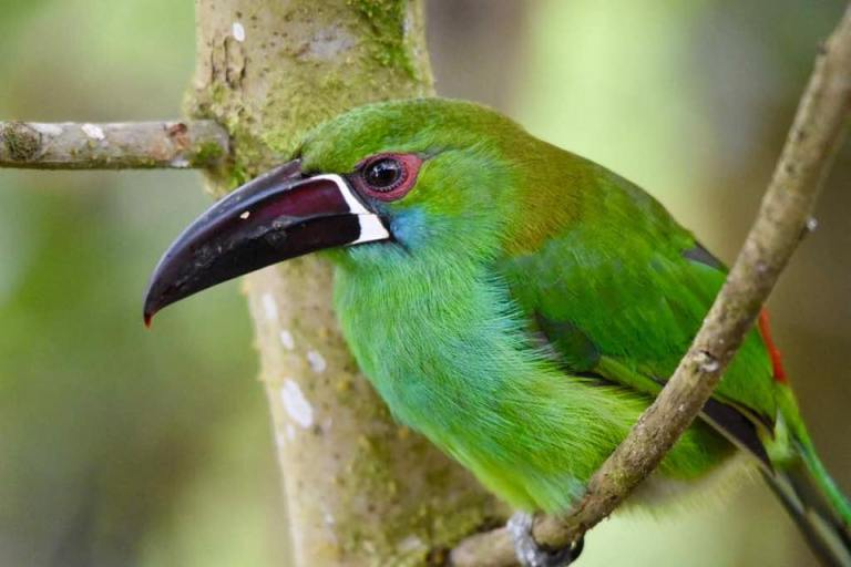 Crimson-rumped Toucanet (2)