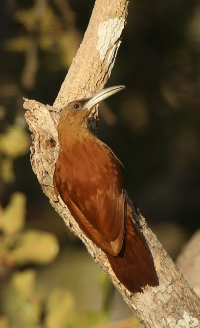 Great Rufous Woodcreeper (A Foster)