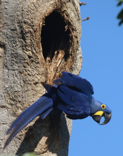 Hyacinth Macaw (A Foster)