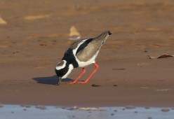 Pied Lapwing (A Foster)
