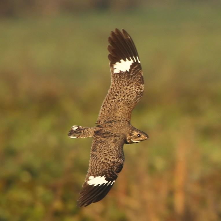 Nacunda Nighthawk(A Foster)