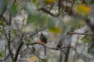 Bat-tailed Trogon. Bwindi. Ruhija Sector. 02