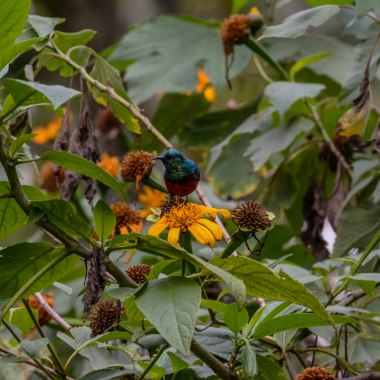 Northern Double-collared Sunbird. Bwindi. Buhoma Sector._
