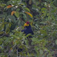 Ross's Turaco. Lake Mburo._