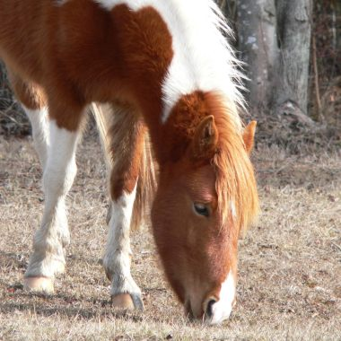 ASSATEAGUE HORSE2