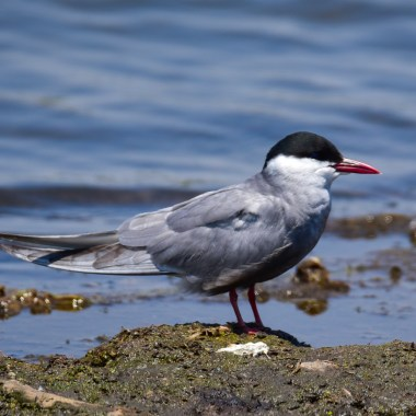 Whiskered Tern on tour with Nature Travel Birding in Netherlands