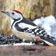 Birding in Europe with Nature Travel Birding