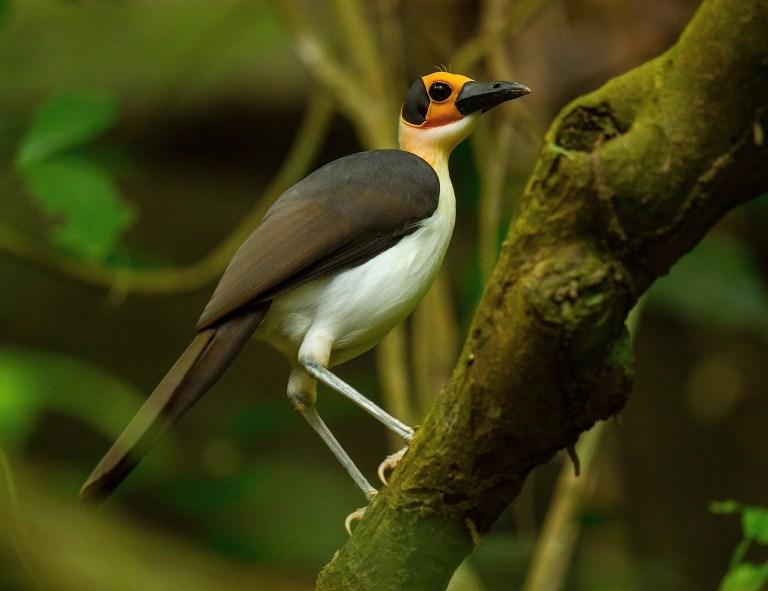 White-necked Rockfowl.JPG