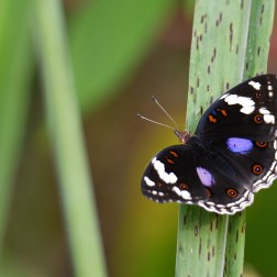 Butterflies of Ghana (2) - Copy