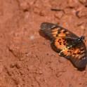 Butterflies of Ghana (8)