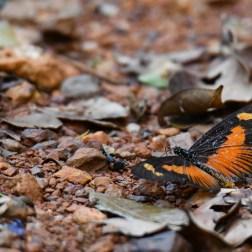 Butterflies of Ghana (9)