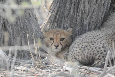 Cheetah cub in Etosha NP