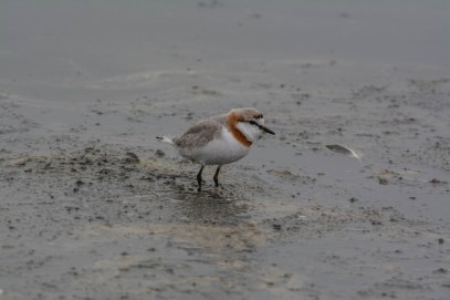 Chestnut-banded Plover at Walvis Bay