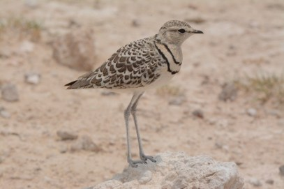 Double-banded Courser in Etosha NP