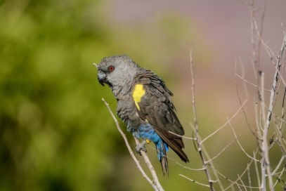 Ruppell's Parrot at Erongo