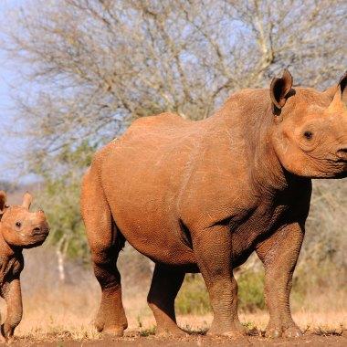 Black-Rhino-in-Mkomazi