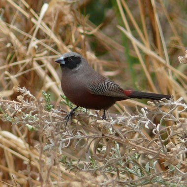 Black-faced-Waxbill