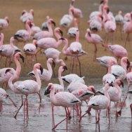 Lesser-Flamingos