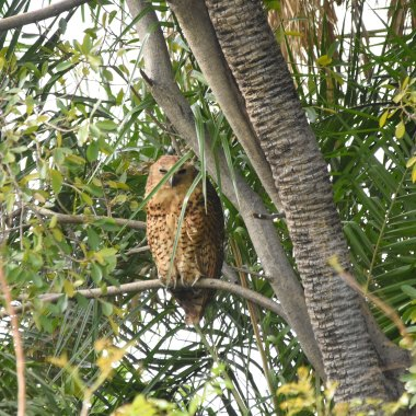 Pel's Fishing Owl with Nature Travel Birding