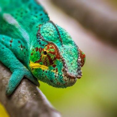 Chameleons-of-Madagascar-(3)