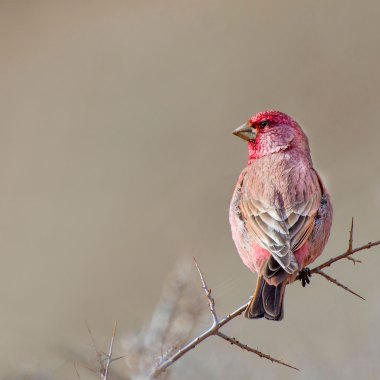 Great-Rosefinch-(1)