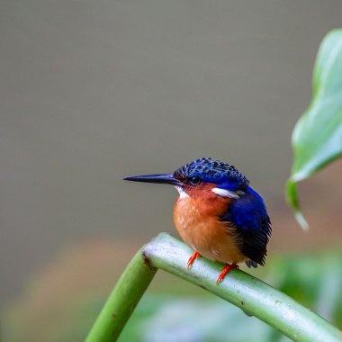 Malagasy-Kingfisher