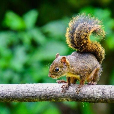 Bolivian-Squirrel