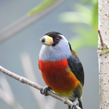 Toucan-Barbet-(3)