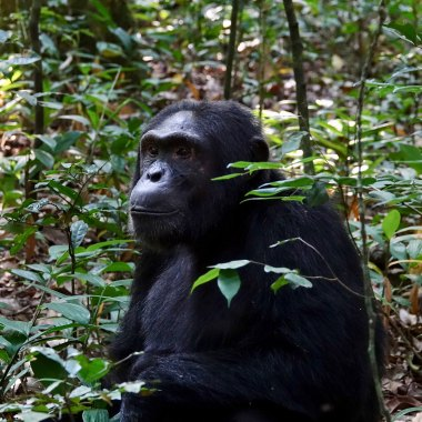 Chimpanzee-in-Kibale-(1)