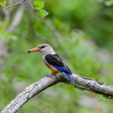 Grey-headed-Kingfisher-in-Dzalanyama