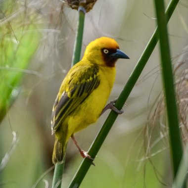 Northern-Brown-throated-Weaver-in-Entebbe