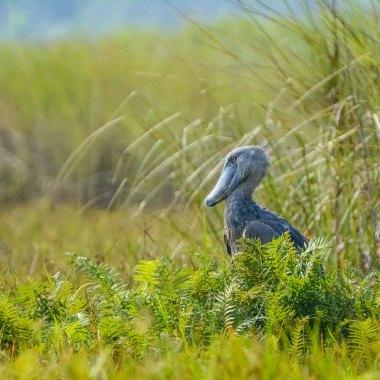 Shoebill-at-Mabamba-Swamp