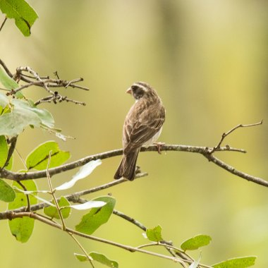Black-eared-Seedeater-at-Christon-Bank