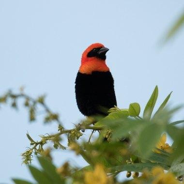 Black-winged-Red-Bishop-in-the-Honde-Valley