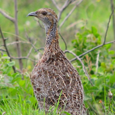 Grey-winged-Francolin-outide-Dullstroom